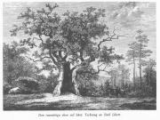 Den tusenåriga eken vid Särö 1870